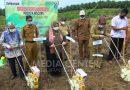 Wabup Paser Tanam Jagung di Lokasi Replanting Kelapa Sawit