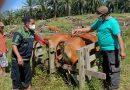 Disbunak Paser Lakukan Vaksinasi Jembrana pada Sapi Bali